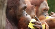 Thumb Orangutan