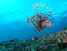 Dive Sites Bali Padang Bai Jepun Lionfish