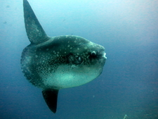 Dive Sites Bali Crystal Bay Mola Mola