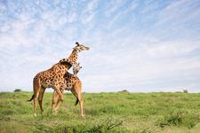Giraffe Snp