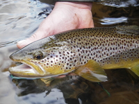 River Eden Brown Trout