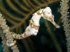 Longsnout Seahorse White O1 Copy