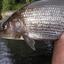 River Tees Grayling
