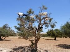 Goats On Argan Tress