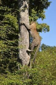 Leo Climb In Mara