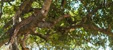 Leopard On A Tree In Maasai Mara