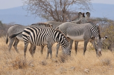 5920265 Two Types Of Zebra Samburu National Reserve Kenya 0