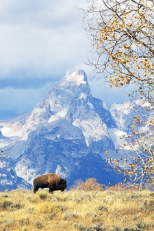 Autumn Bison Grand Tetons