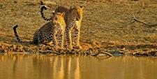 Cinnamon Wild Leopard Default