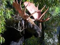 Cottonwood Bull Moose 2014 09 10