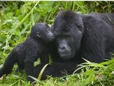 Gorilla Kisses Bwindi Impenetrable National Park Uganda 300x227
