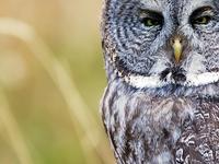 Grass Great Grey Owl 2135