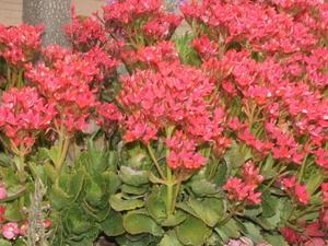 Kalanchoe Edged With Begonia Hypoestes