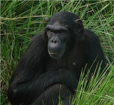 Queeen Chimp Monday