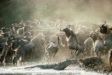 Wildebeest Migration 2