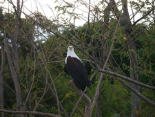 African Fish Eagle Akagera Np Rwanda