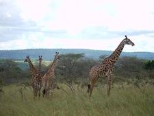 Giraffe Akagera Np Rwanda