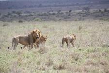Lions In Nairobi National