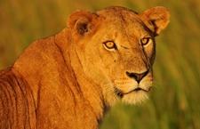 Lion 2 Compressed