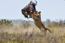 Lion Hunting Wildebeest 800x534