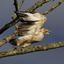 Palm Nut Vulture 1