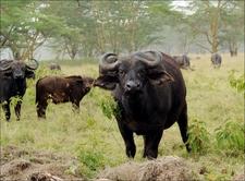 Buffalos At Nakuru