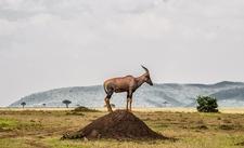 Topi In Masai Mara North Conservancy