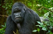 01 Mountain Gorilla