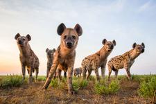 Hyenas On Safari Africa