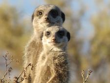 Meerkats In South Africa