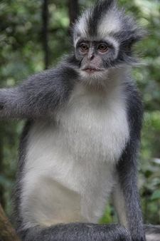 Thomas' Leaf Monkey