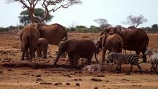 Tsavo Elephants
