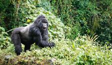 54rw06 Im1173 Virunga Mountains 1475 1