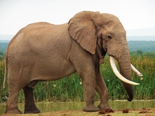 Addo7 Great Elephant Bul