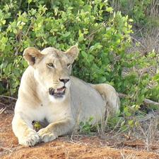 Lioness - Tsavo East