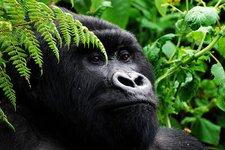 Gorilla Trekking Safari
