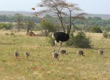 Somali-Ostrich - Samburu