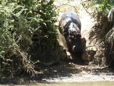 Hippo - Meru Park
