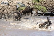 Migration Wildebeest Crossing