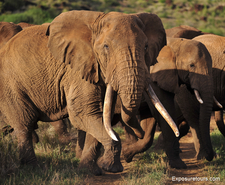 Photo Safari Elephants