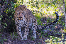Photo Safari Leopard