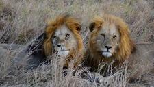 Male Lions Serengeti 4