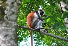 06 Jozani Forest Zanzibar Colobus Monkey