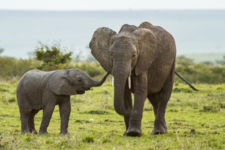 African Elephant And Baby Claf