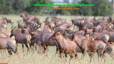 Antelope Migration On The Serengeti Plains