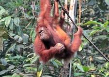 Orangutan Hanging Off A Tree At Semenggoh