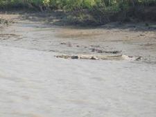 Sundarban Crocodile Image By S M T 09732466250