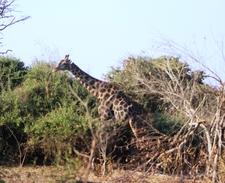 Giraffe Chobe Np Game Drive