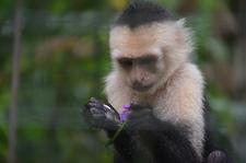 Monkey Capuchin Monkey