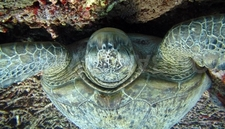 Ombak Divers Albinos Green Turtle Shark Point 5